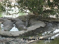 Crocodiles at Island Cove Crocodile Farm